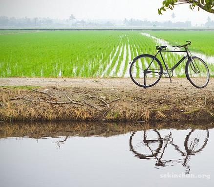 sekinchan-paddy-field-bicycle