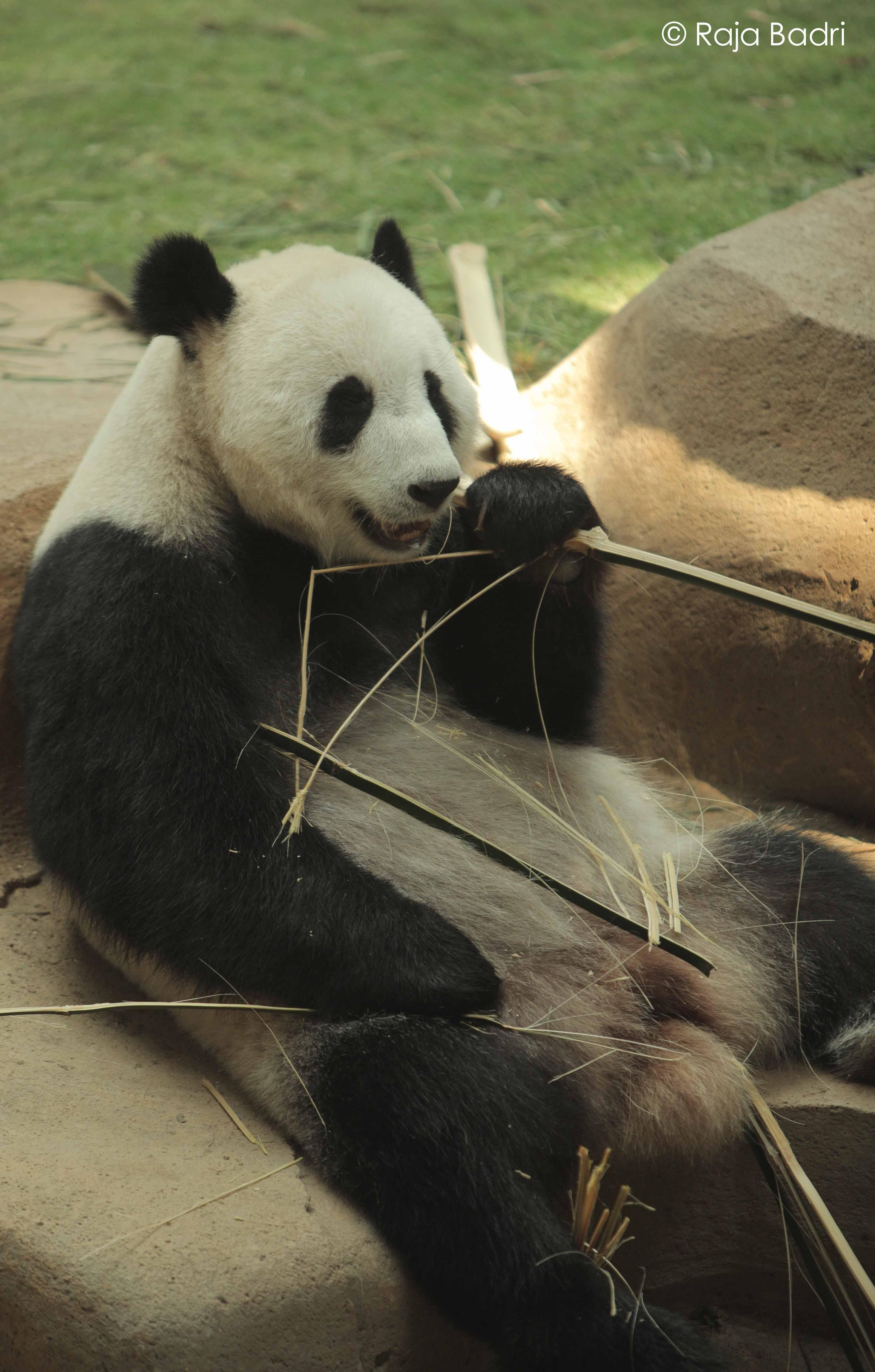 Liang2 Panda