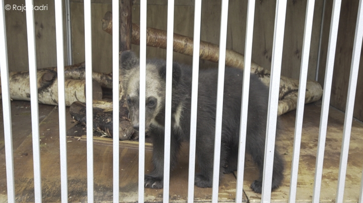 Ezo bear cubs in confinement area